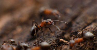 jak hodować mrówki